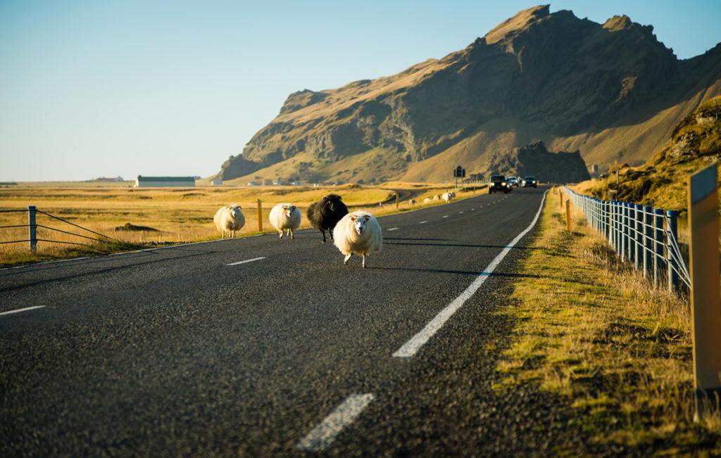 islanti lampaita maalla