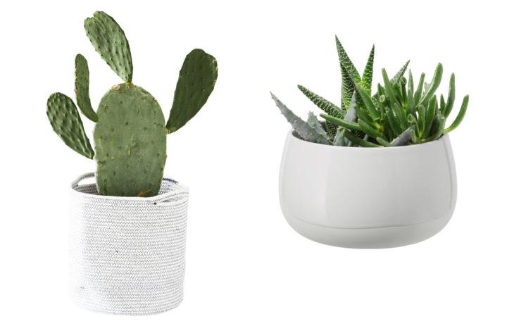 kaktukset sisustuksessa
