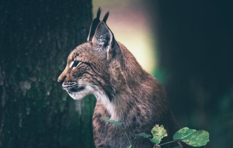 Minkä metsäneläimen voimaa tarvitset juuri nyt? Testaa, mikä pohjoisen voimaeläin vahvistaa sinua