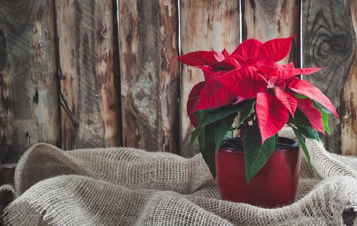 Joulutähteä on kasteltava usein pienellä määrällä vettä