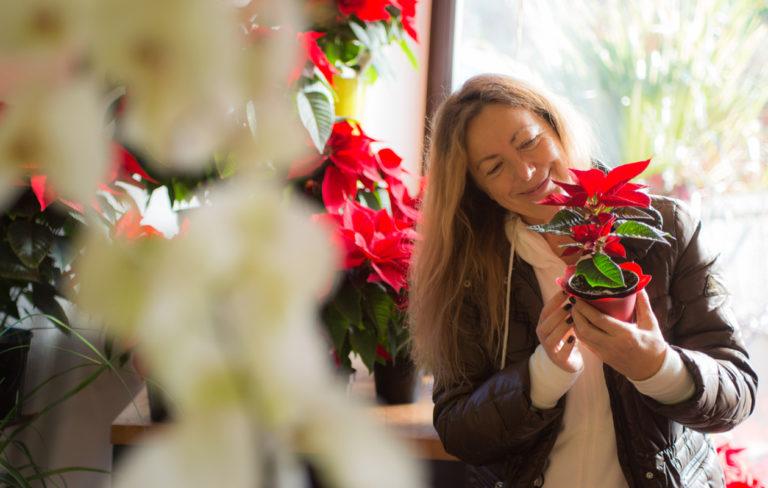 Monivuotinen joulutähti on perinteinen joulutervehdys ja suomalaisten suosikki.