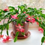 Joulukaktus kukkii uudelleen ja säilyy vuosia. Joulukukat toimivatkin usein myös tavallisina viherkasveina.