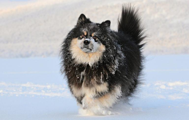 Äijä-koira