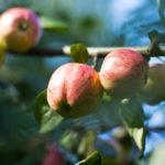 Omenakausi alkaa elokuussa.