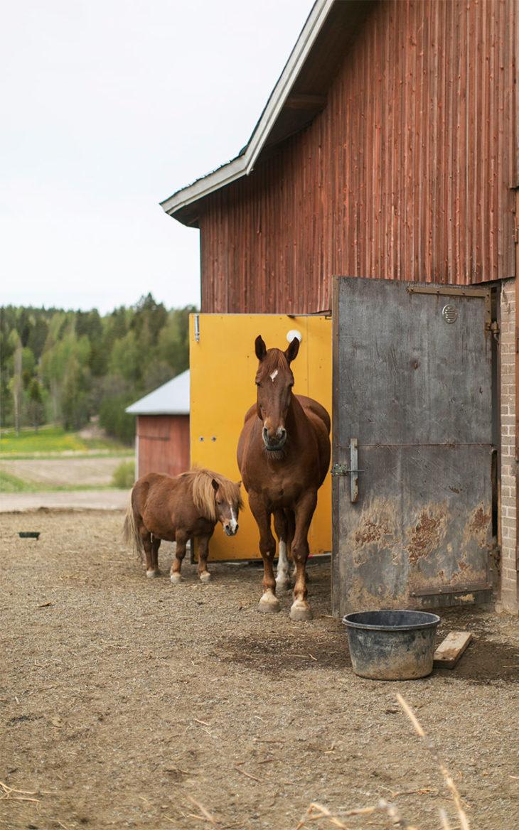 Poni ja hevonen pihatossa. Eläkkeellä olevan poliisiratsun Derkunin paras kaveri on Pelle-poni.