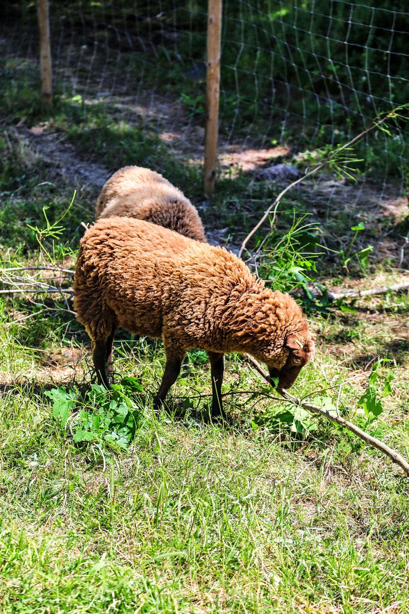 Lampaita syömässä ruohoa. Raaseporin linnanraunioilla voi tervehtiä lampaita.