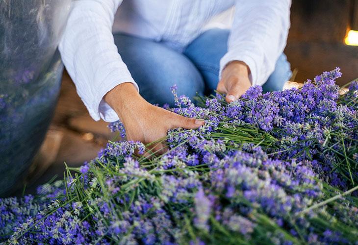 Laventeli kasvaa tuuheaksi, kun sen sato uskalletaan korjata tarpeeksi ajoissa. Kuvassa nainen laventelisadon keskellä.