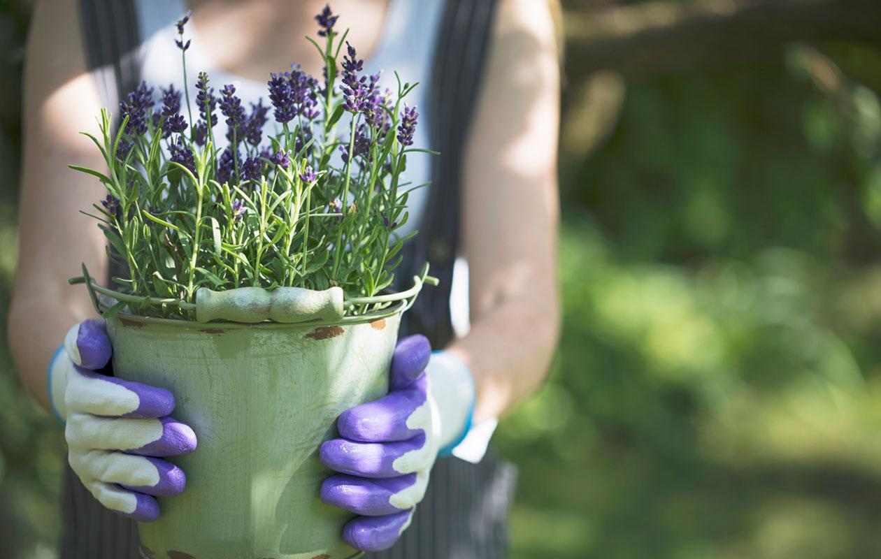 Hienoarominen laventeli on monikäyttöinen yrtti  näin laventelin...