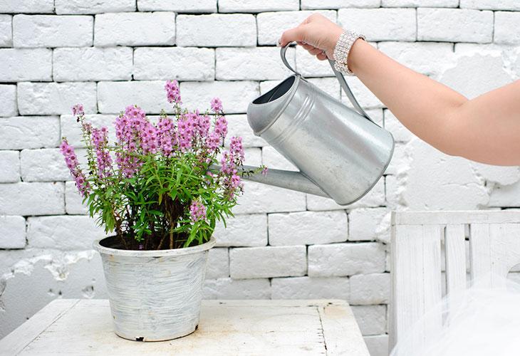 Laventeli ei pidä liiallisesta kastelusta. Kuvassa nainen kastelee ruukkuun istutettua laventelia.