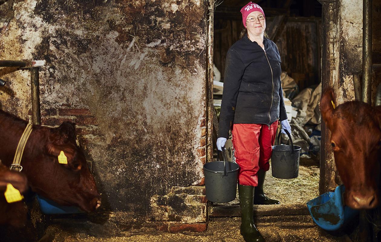 Rauni Miettisen karja on helppohoitoista ja kilttiä. – Siitä olen ylpeä, hän sanoo. Sonneja ei ole.