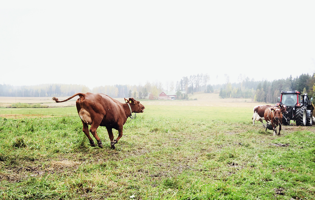 Raunin lehmät ovat ayrshire-rotua. Ne ovat Raunin silmään mukavammannäköisiä kuin mustavalkoiset friisiläiset, jotka lypsävät enemmän mutta ovat isompia.