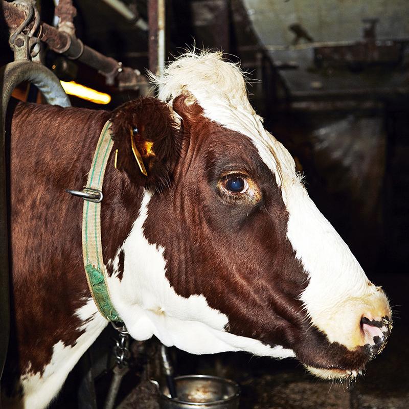 Lehmät elävät tavallisesti noin viisivuotiaiksi.