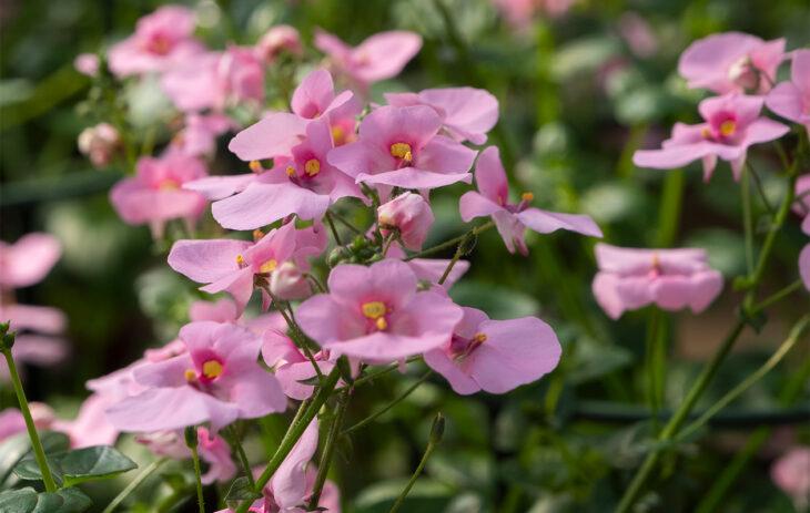 Vaaleanpunainen diana-kukka.