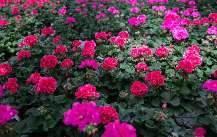 Kesäkukat saavat olla näyttäviä, kuten pinkit pelargonit.