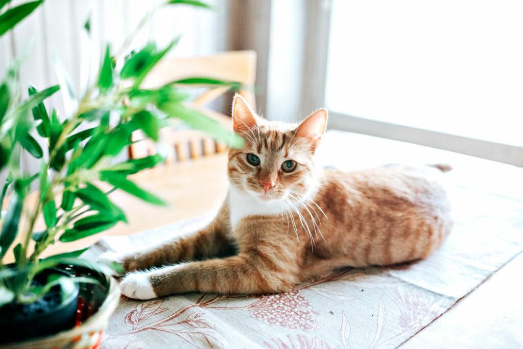 Kaisa Pöyhiän punavalkoraitainen Simba-kissa.