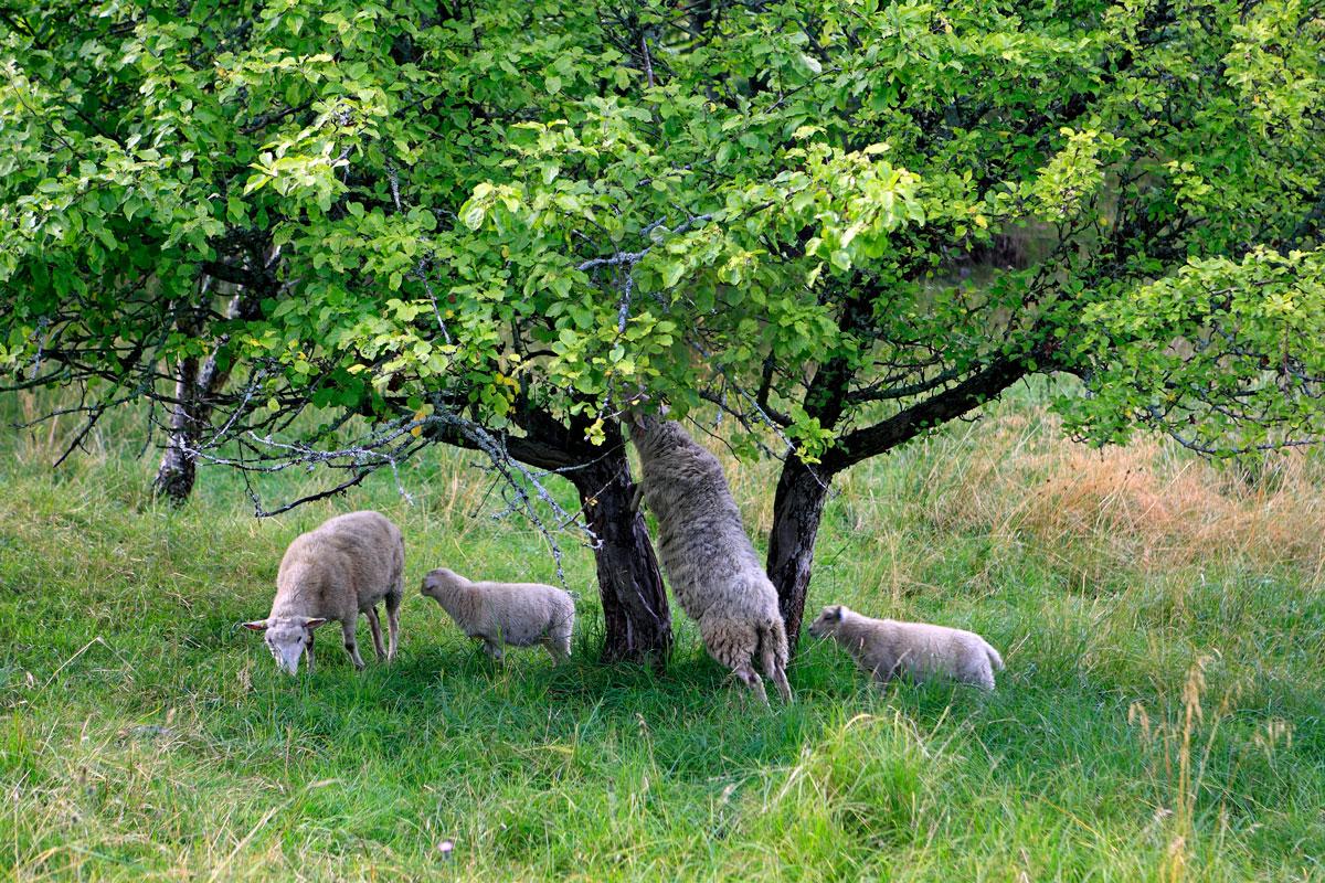 Lampaita puun ympärillä.