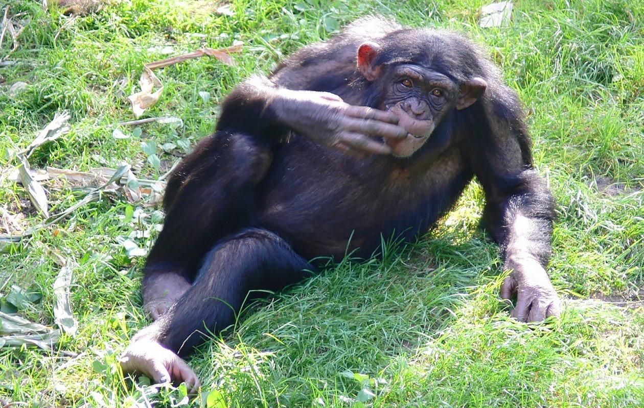 Simpanssi makoilee nurmikolla.