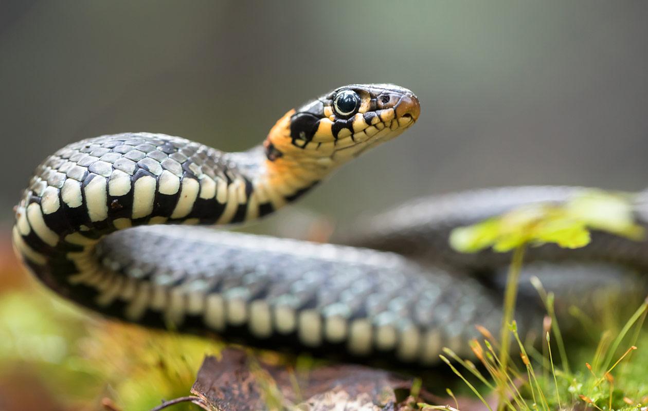 Käärme unessa on pohdituttanut monia ja saanut myös erilaisia selityksiä.
