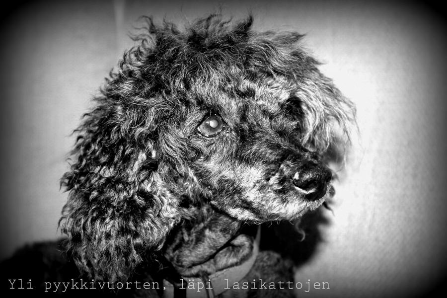 kääpiövillakoira, koira, lemmikki, 16-vuotias koira, koiran elinikä, blogi